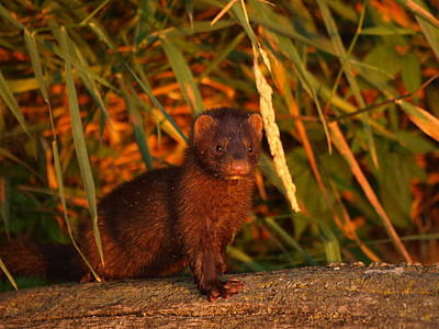 Peterson Nature Photograph - Baby Mink by James Peterson