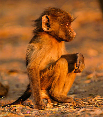 Photograph - Baby Monkey by Alistair Lyne