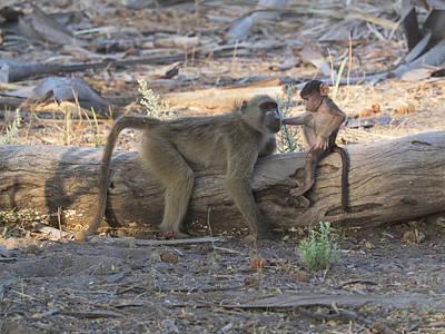 Baby Monkey With Its Mother, Okavango Art Print