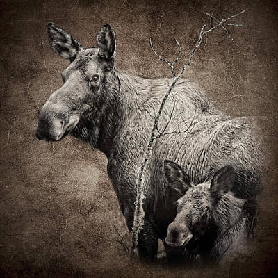 Photograph - Baby Moose And Mom D8439 by Wes and Dotty Weber