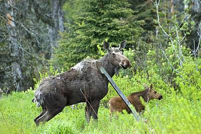 Baby Moose - Mom Art Print