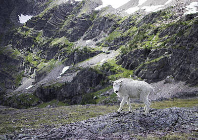 Photograph - Baby Mountain Goat At Comeau Pass by Alex Blondeau