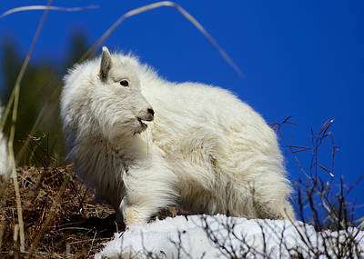 Photograph - Baby Mountain Goat by Greg Norrell