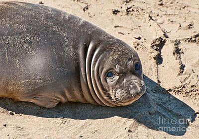 Baby Northern Elephant Seals Mirounga Angustirostris At The Piedras Blancas Beach Art Print by Jamie Pham