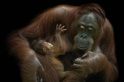 Ape Wall Art - Photograph - Baby Orangutan & Mother by David Williams