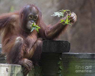 Fury Photograph - Baby Orangutan - Houston Zoo by TN Fairey