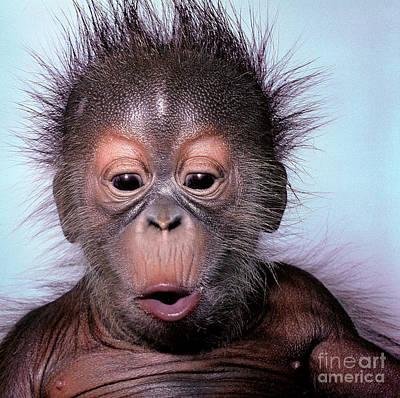 Photograph - Baby Orangutan by Toni Angermayer