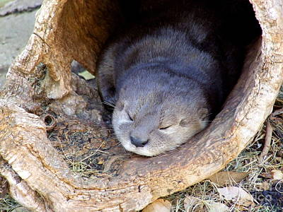 Phoenix Zoo Photograph - Baby Otter by Mary Deal