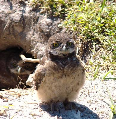 Photograph - Baby Owl by Van Ness