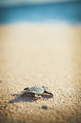 Photograph - Baby Pacific Green Sea Turtle Heads For by Stephen Simpson
