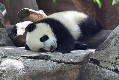 Photograph - Baby Panda by John Telfer