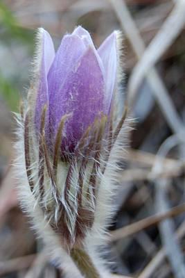 Photograph - Baby Pasqueflower by Dakota Light Photography By Dakota