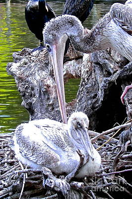 Photograph - Baby Pelican And Mama by Carol  Bradley
