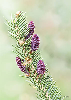 Photograph - Baby Pine Cones by Peg Runyan