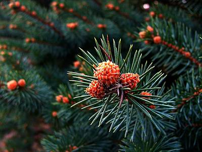 Pine Needles Photograph - Baby Pinecones by Julie Dant