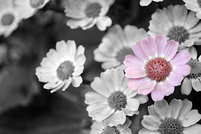 Photograph - Baby Pink  Daisy by Sumit Mehndiratta
