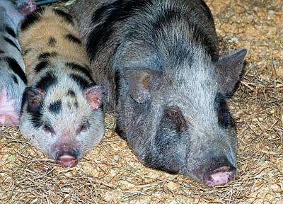 Baby Pot Bellied Pig With Mother Art Print by Millard H. Sharp