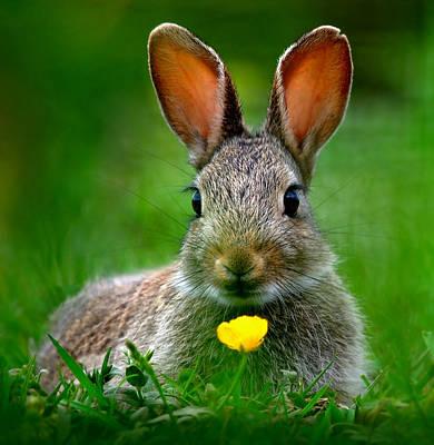 Photograph - Baby Rabbit by Gavin Macrae