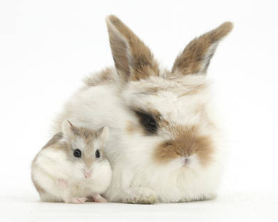 House Pet Photograph - Baby Rabbit With Roborovski Hamster by Mark Taylor