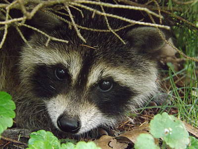 Baby Raccoon Original by Dennis Pintoski