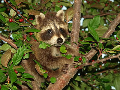 Raccoon Photograph - Baby Raccoon by James Peterson