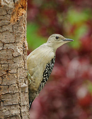 Baby Red Bellied Woodpecker Print by Lara Ellis
