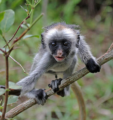 Photograph - Baby Red Colobus Monkey by Tony Murtagh