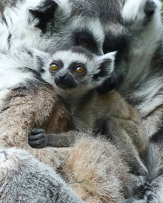 Photograph - Baby Ring-tailed Lemur by Margaret Saheed