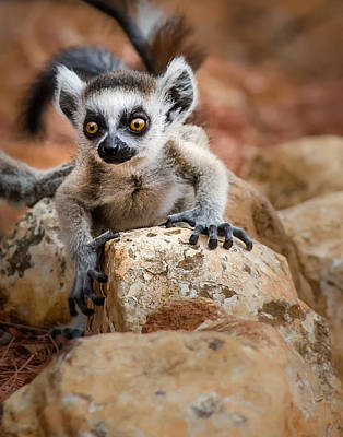 Photograph - Baby Ringtail Lemur by Linda Villers