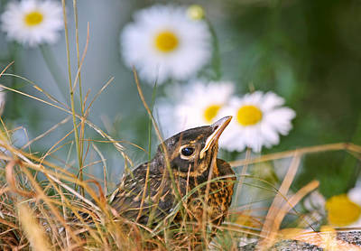 Photograph - Baby Robin And Daisies  by Peggy Collins