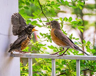Baby Bird Photograph - Baby Robin - Feed Me Mom by Steve Harrington