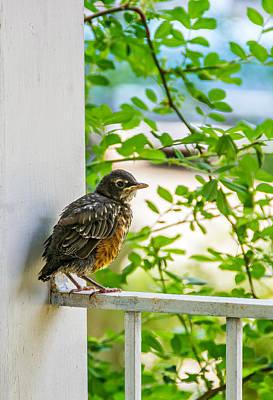 Baby Bird Photograph - Baby Robin - Fresh From The Nest by Steve Harrington