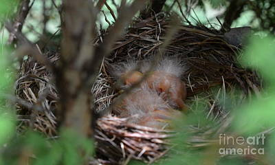 Photograph - Baby Robins by Denise Tomasura
