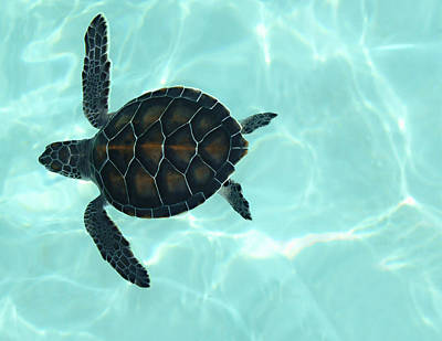 Reptiles Royalty-Free and Rights-Managed Images - Baby Sea Turtle by Ellen Henneke