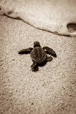 Olive Photograph - Baby Sea Turtle by Sebastian Musial