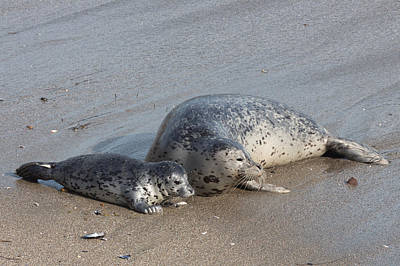 Photograph - Baby Seal With Her Mom by Kathleen Bishop