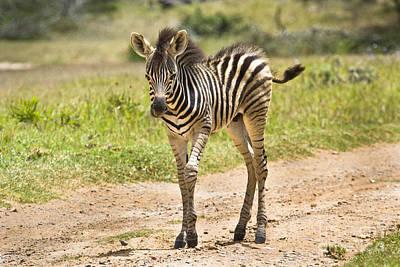 Baby Series Zebra Art Print