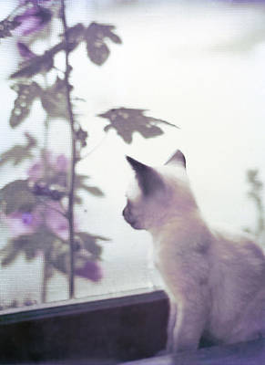 Baby Siamese Kitten Art Print