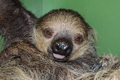 Robin Williams Photograph - Baby Sloth by Robin Williams