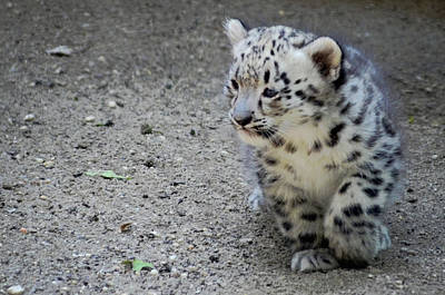 Photograph - Baby Snow Leopard by Terry DeLuco