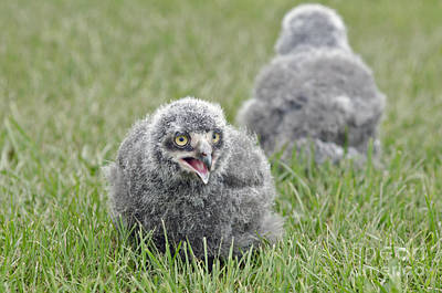 Photograph - Baby Snowy Owls by JT Lewis