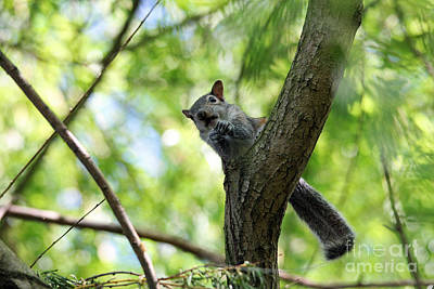 Photograph - Baby Squirrel Out On A Limb by Trina  Ansel