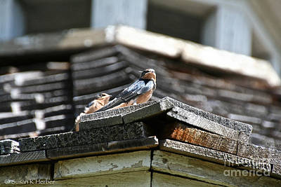 Photograph - Baby Swallow by Susan Herber