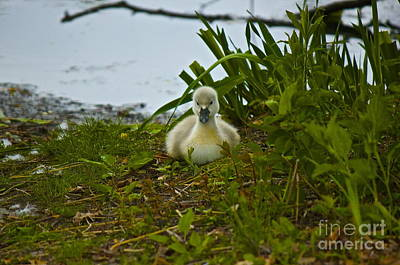 Photograph - Baby Swan by Amazing Jules