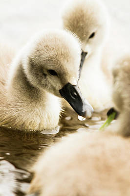 Animal Family Photograph - Baby Swans by Kerstin Meyer