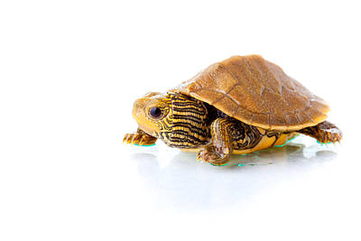 Small Turtle Photograph - Baby Turtle by Alexey Stiop