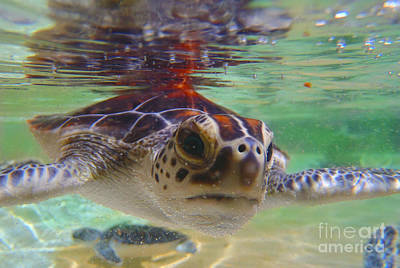 Reptiles Royalty-Free and Rights-Managed Images - Baby turtle by Carey Chen