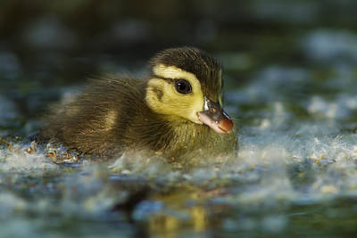 Baby Geese Wall Art - Photograph - Baby Wood Duck by Mircea Costina Photography