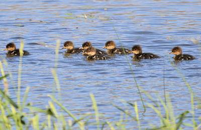 Photograph - Baby Hooded Mergansers by Bonfire Photography