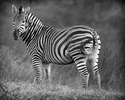 Photograph - Baby Zebra by Gigi Ebert